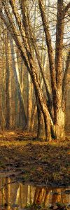 Fred Eberhart, Morning, Birches and Sycamores, digital photograph